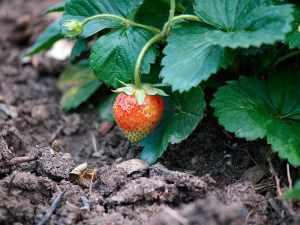 dirty dozen pesticides strawberries