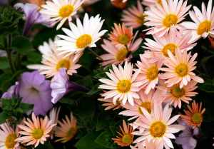 chrysanthemums-and-petunias