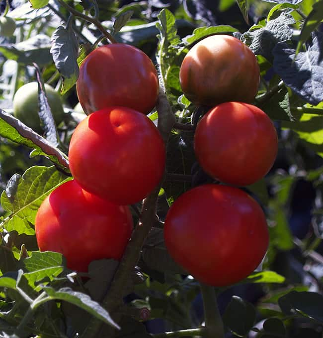 12 Easy Vegetables For Your First Garden