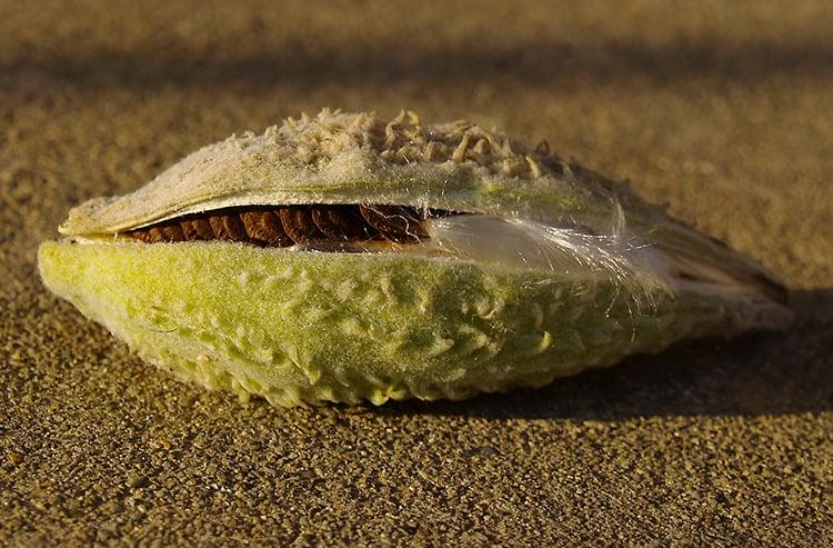 vaina de semilla de algodoncillo