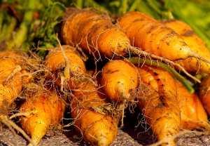 garden carrots