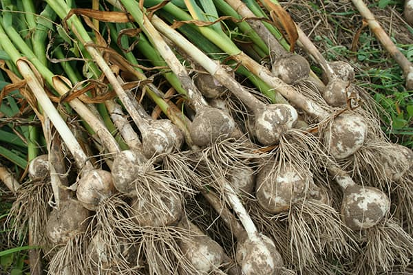 Garlic: How To Plant, Grow and Harvest