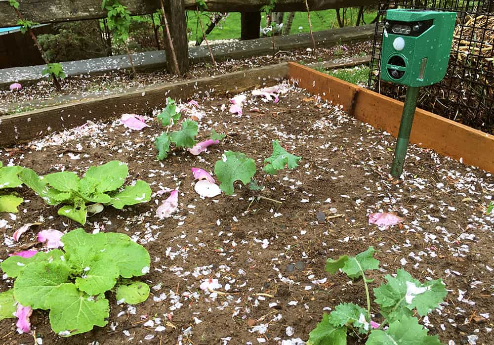 Espantapájaros repelente de animales protegiendo las hojas verdes en la cama elevada