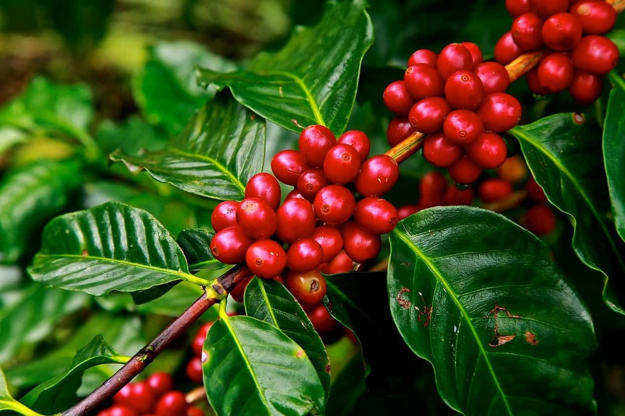 How To Grow Coffee Beans At Home Big Blog Of Gardening