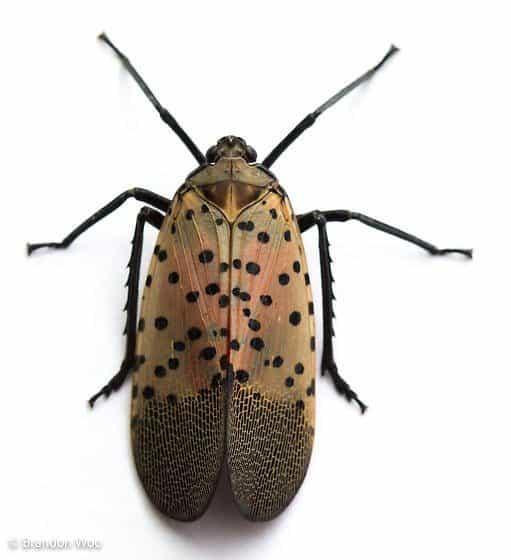 mosca linterna manchada adulta
