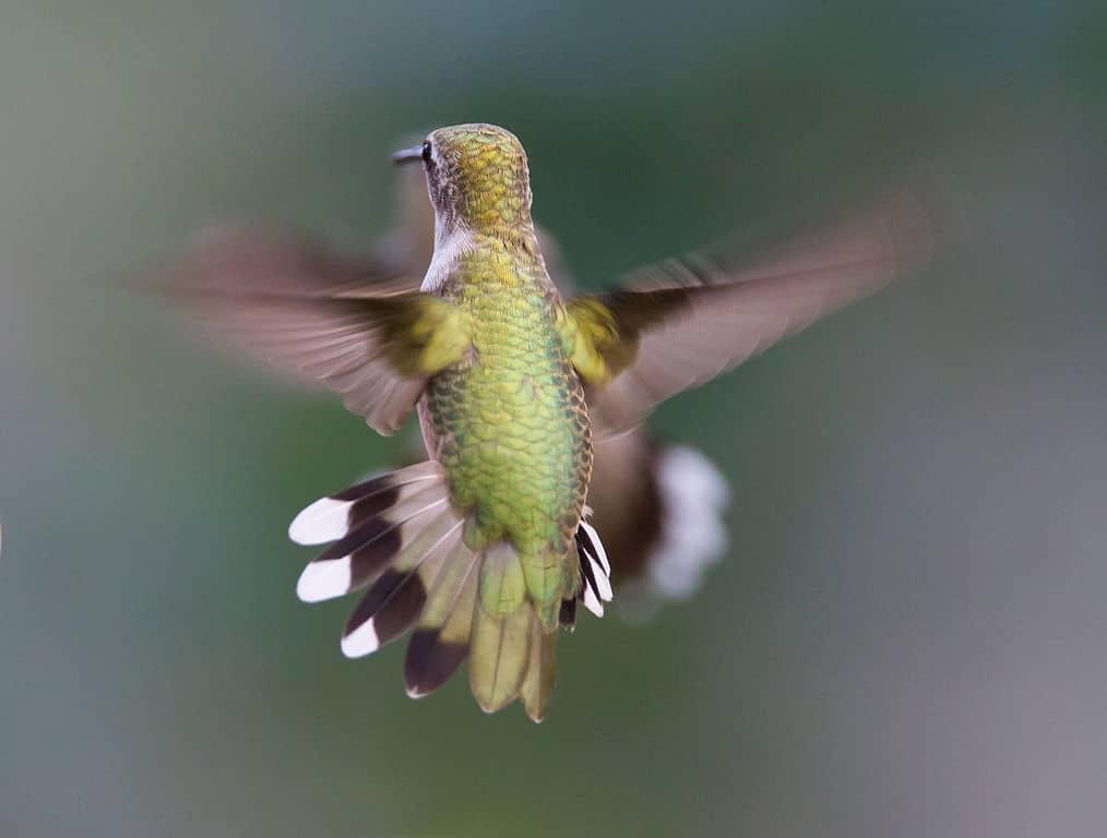 colibrí garganta rubí