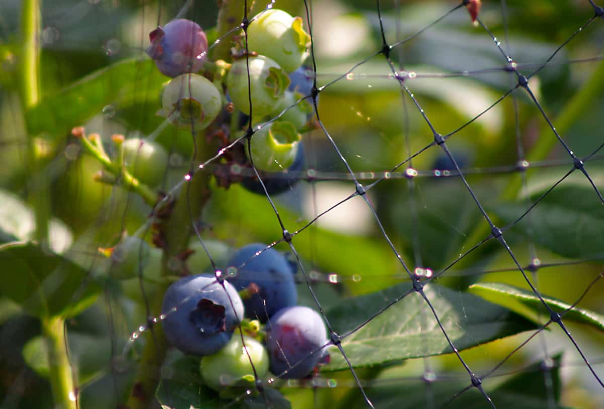Cómo proteger los árboles frutales de las aves ⋆ Big Blog Of Gardening