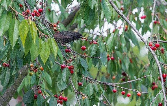 pájaro comiendo fruta en el árbol