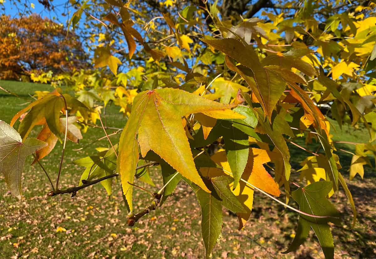 hojas de arce amarillas en otoño