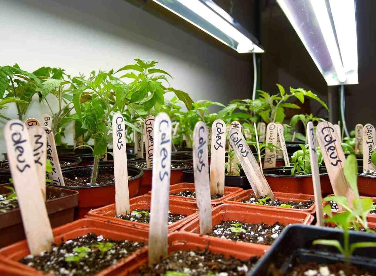 plántulas bajo luces de cultivo t5