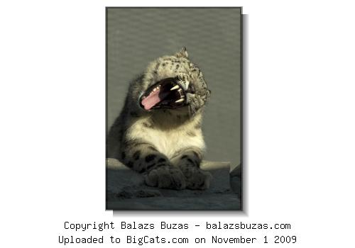 Uncia uncia male - RSCC (rarespeciesconservationcentre.org)