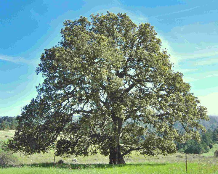 Celtic Tree of Life - oak tree