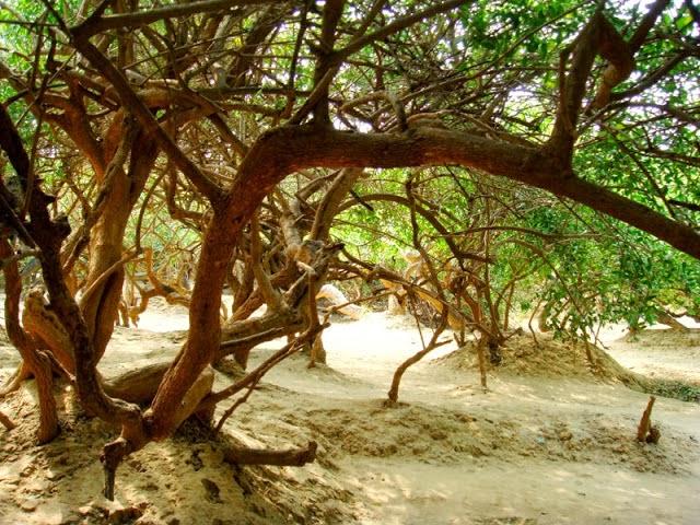 Nidhivan - Trees