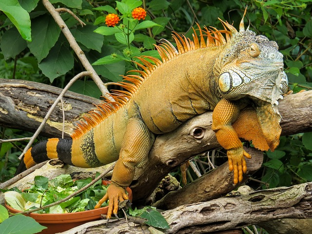Dream of Iguana Attack