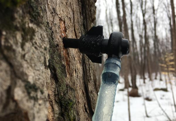 winter wonderland maple tap