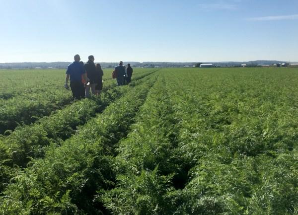 farm carrot crop