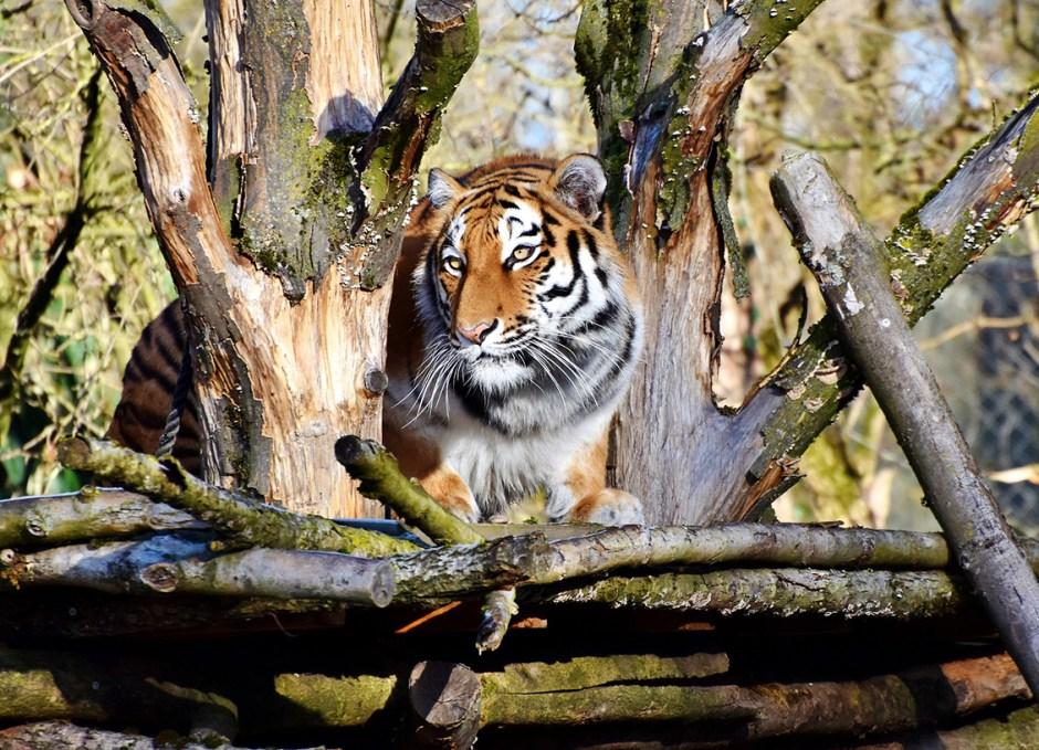 survive tiger