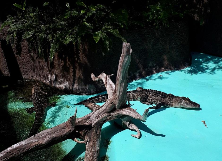 Aquarium Encounters alligators