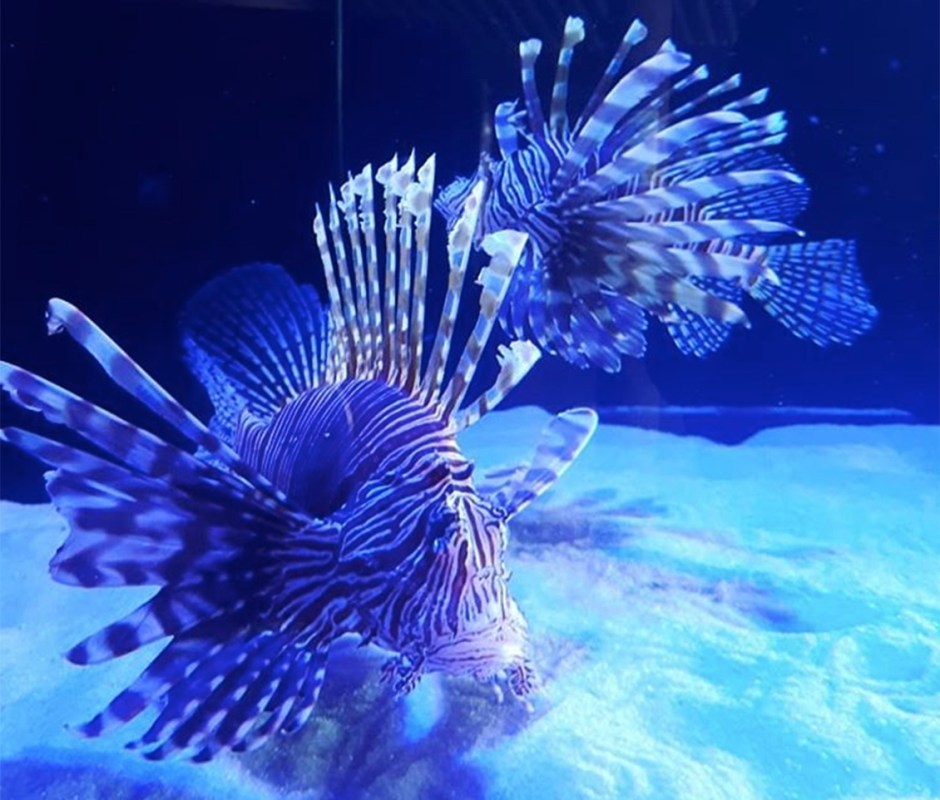 Aquarium Encounters lionfish