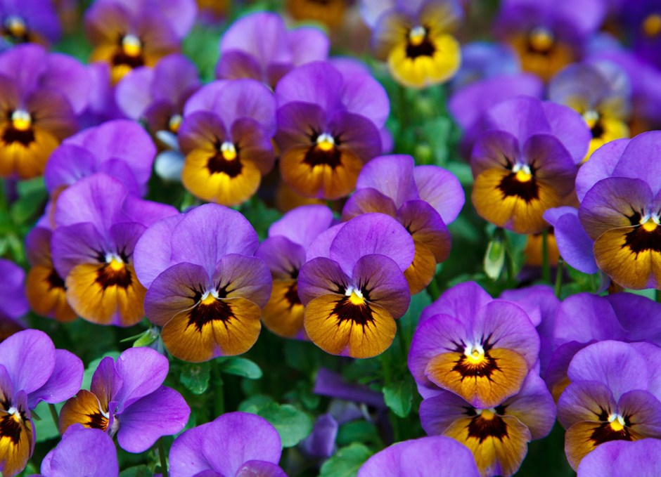 Bedding Plants Viola