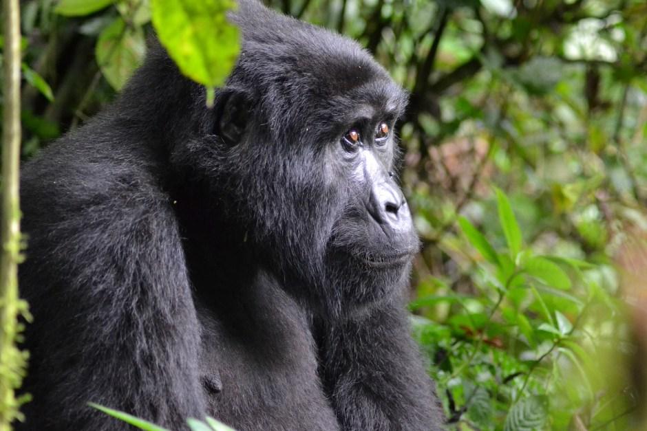 uganda mountain gorilla africa