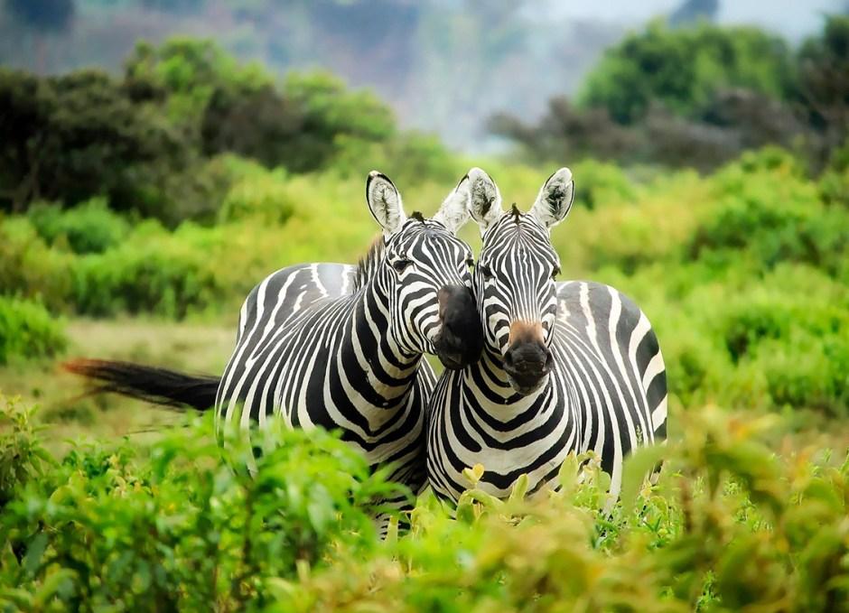 solo travellers Kenya Zebras Safari
