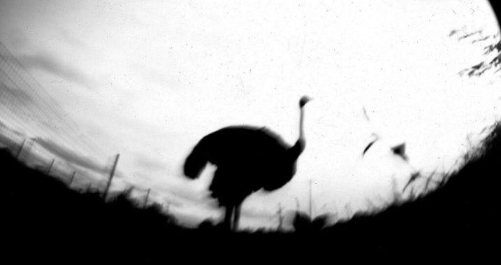 Ostrich pinhole 2