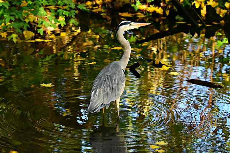 Heron in Battersea Park London