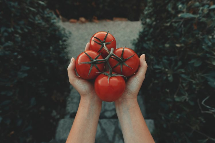 Hand holding four tomatoes