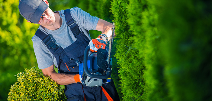Hedge Trimmer Works. Gardener with Gasoline Hedge Trimmer Shaping Wall of Thujas