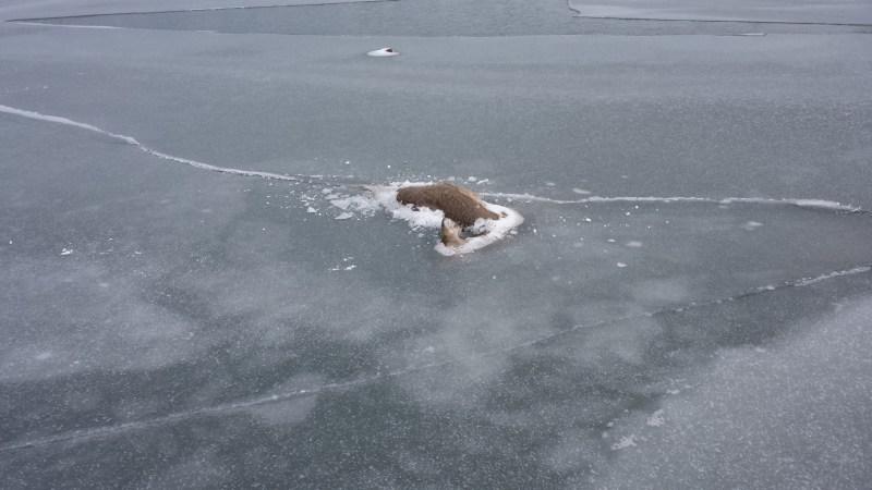 Dead deer frozen in the ice