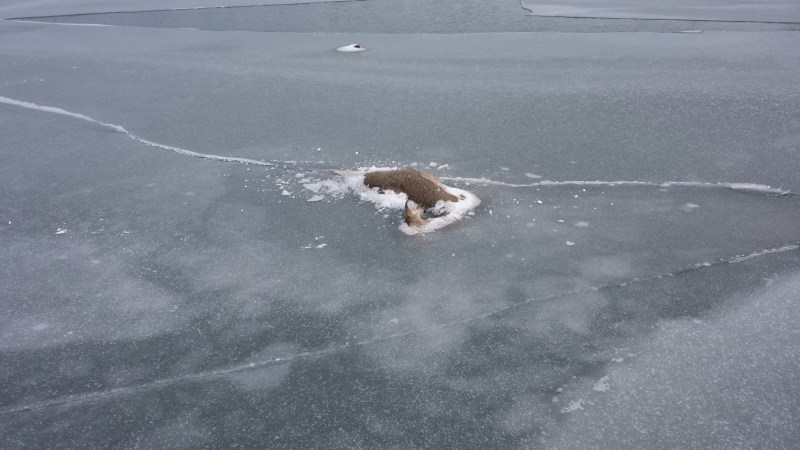 Dead deer frozen in the ice