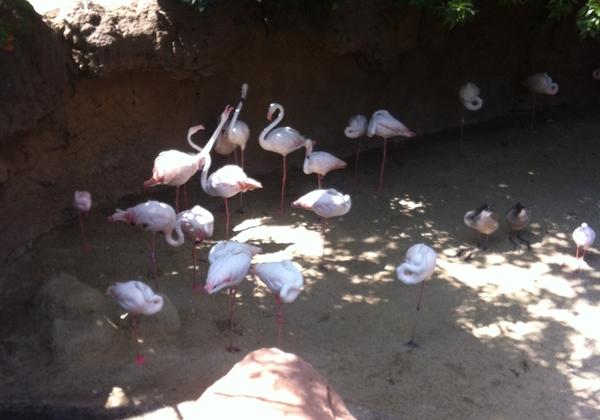 bioparc-flamingos
