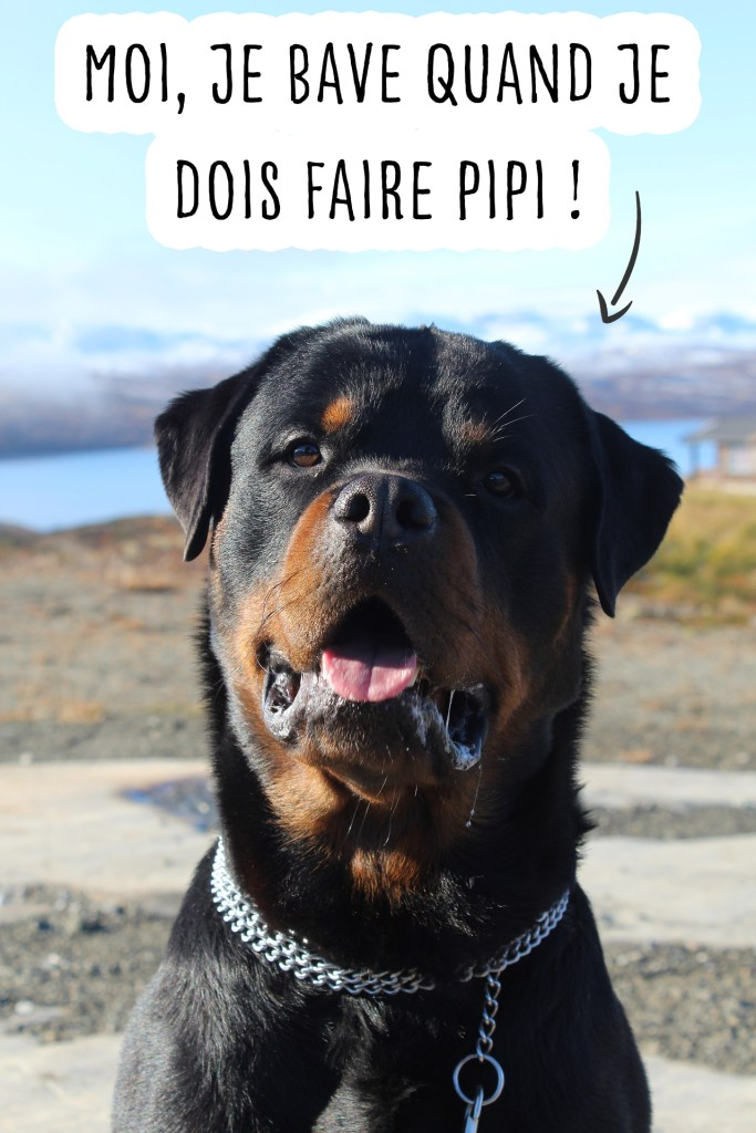 chien bave pipi