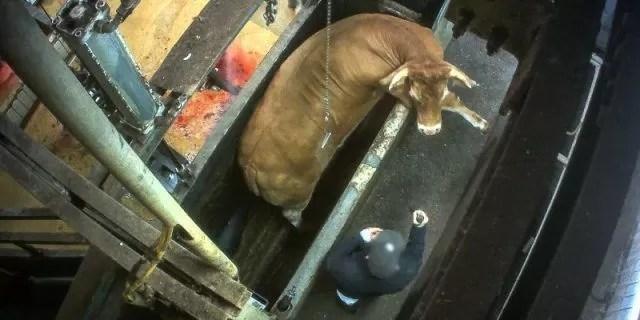 L214-vaches-gestantes-abattoir-limoges-6