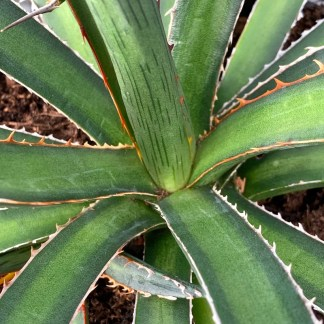 Agave lechuguilla close up of leaves at Big Plant Nursery