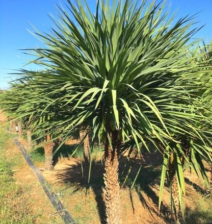 Cordyline australis young adult plants