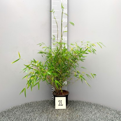 Fargesia angustissima 2 litre plant
