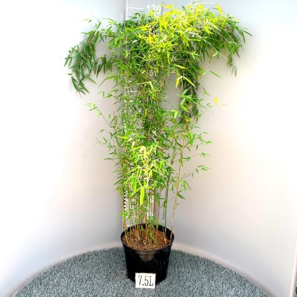 Fargesia juizhaigou 'Red Panda' bamboo 7.5 litre plant