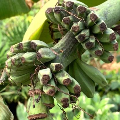 Musa basjoo showing fully formed bananas at Big Plant Nursery