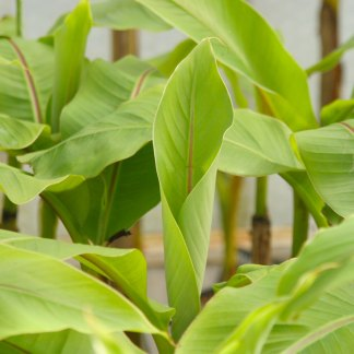 Japanese banana Musa basjoo at Big Plant Nursery