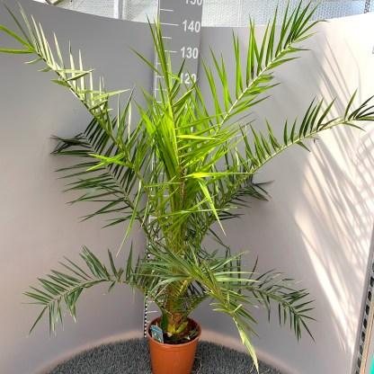 Phoenix canariensis 4 litre plant