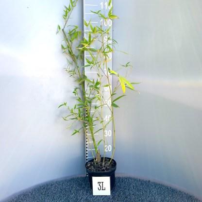 Phyllostachys aurea 3 litre plant at Big Plant Nursery