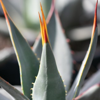 Agave parryi var. neomexicana leaf close up