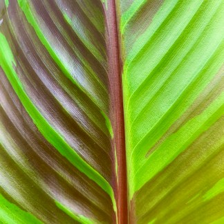 Musa sikkimensis leaf close-up at Big Plant Nursery