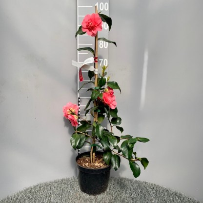 Camellia chandleri 'Elegans' 4 litre plant