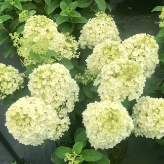 Hydrangea 'Little Lime' flowers