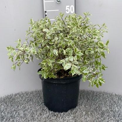 Pittosporum 'Variegata' 5 litre plant at Big Plant Nursery