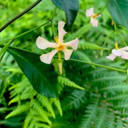 Trachelospermum asiaticum 'Pink Showers' showing flower colour