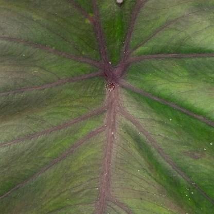 Colocasia 'Madeira' mature leaf colour at Big Plant Nursery